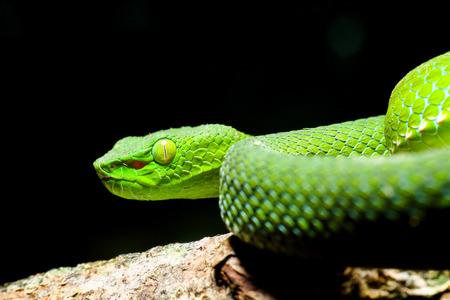 Snake, green tree viper,Cameron Highland pit viper Trimeresurus Nebularis