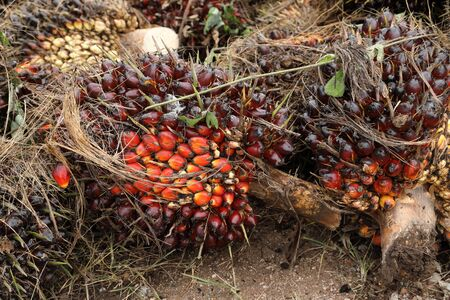 Palm oil fruit (Elaeis Guineensis) in bunches Stock Photo