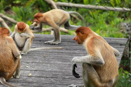 Proboscis monkeys (Nasalis larvatus) endemic to Borneo are protected in Labuk Bay Proboscis monkey sanctuary in Borneo
