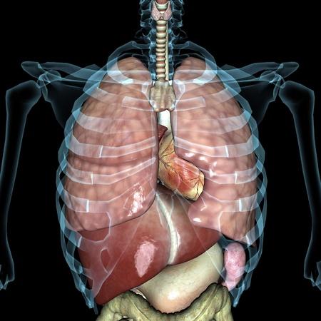 skeleton anatomy: human body Stock Photo