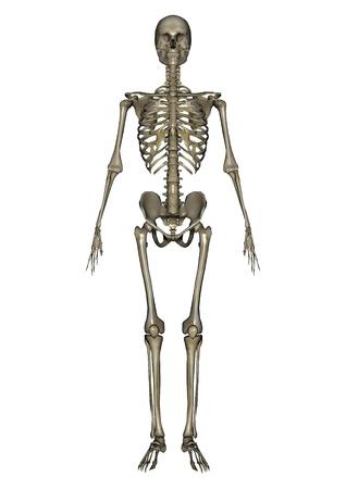 esqueleto humano: figura masculina de lay