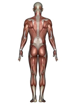 bone anatomy: male lay figure