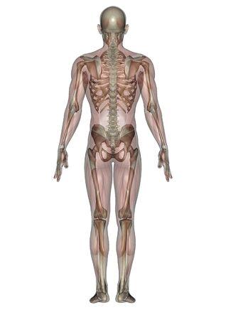 skelett mensch: male lag Figur