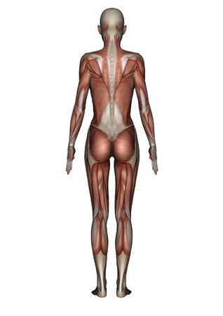 bone anatomy: female lay figure