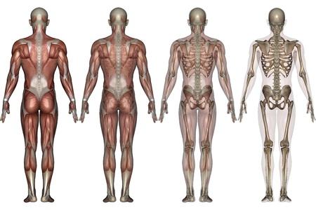 esqueleto humano: esqueleto