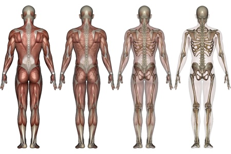 anatomie mens: skelet  Stockfoto