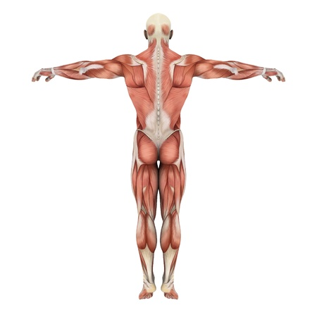 anatomy muscles: male lay figure