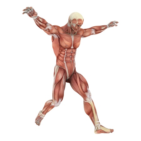 transparent male anatomy: male lay figure