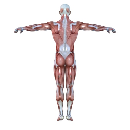 back muscles: male lay figure