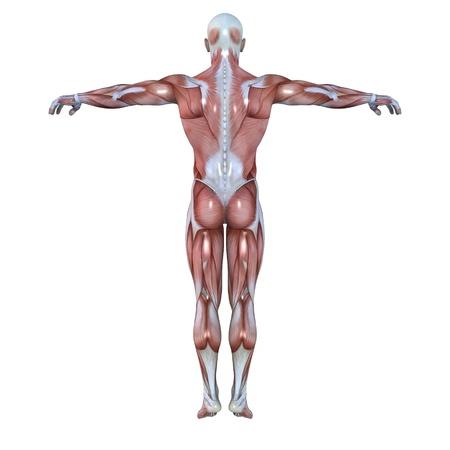 transparent male anatomy: male lay figure