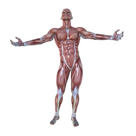 musculo: hombre maniqu� Foto de archivo