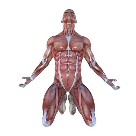 anatomia humana: hombre maniqu� Foto de archivo