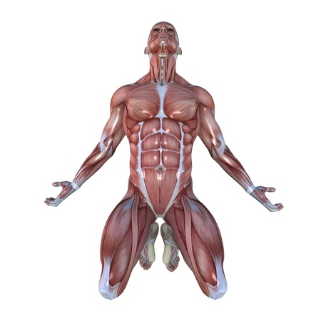 anatomy muscle: male lay figure
