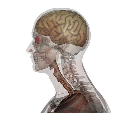 human anatomy: male lay figure