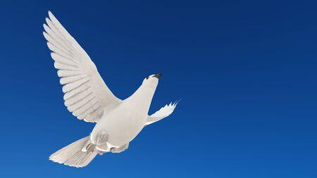white dove: white dove  Stock Photo