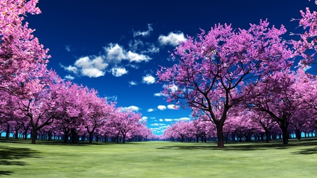 cherry trees photo