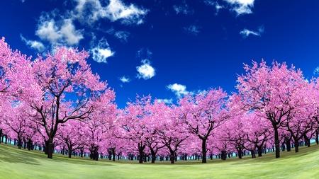 cherry trees photo