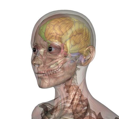 brain anatomy: female lay figure