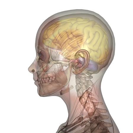 anatomy brain: female lay figure