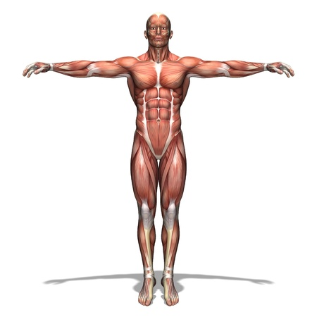anatomy muscles: human body Stock Photo
