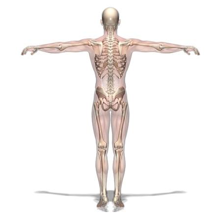the skeleton: human body Stock Photo