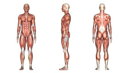muscle anatomy: human body Stock Photo