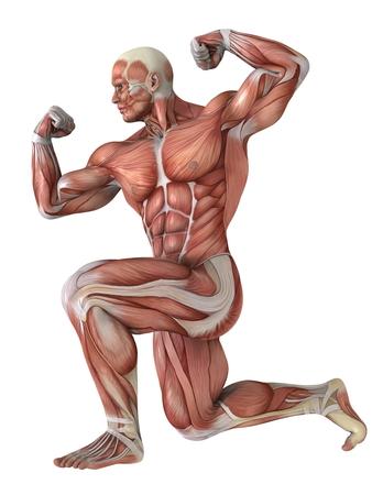 anatomy muscles: human body Stock Photo