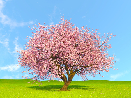 cherry tree Stockfoto