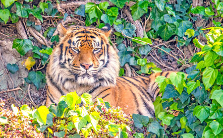 The tiger in zoo photo