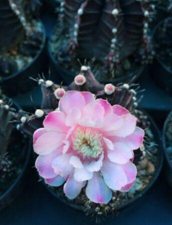 cactus flower: Cactus flower
