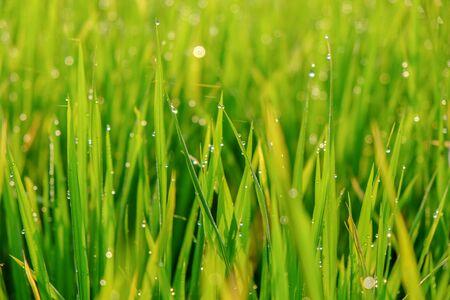 rice field: rice field
