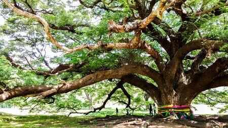 fidelidad: El gran árbol viejo de la fidelidad Foto de archivo