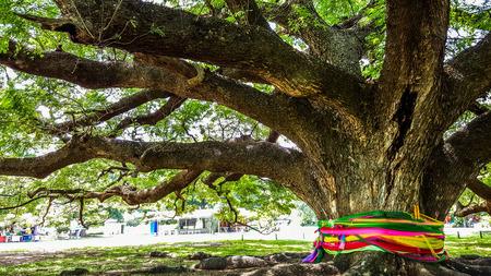 faithfulness: The large old tree of  faithfulness Stock Photo