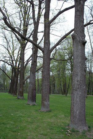 sylvan: Ancient trees in the sylvan park in Ostafyevo manor Stock Photo