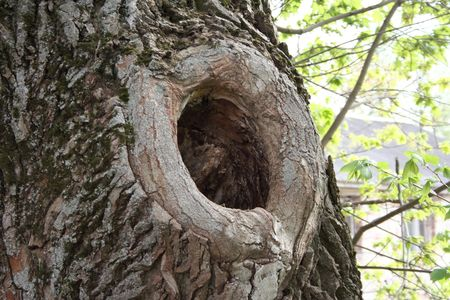 knothole: A knothole in an ancient moss-covered tree