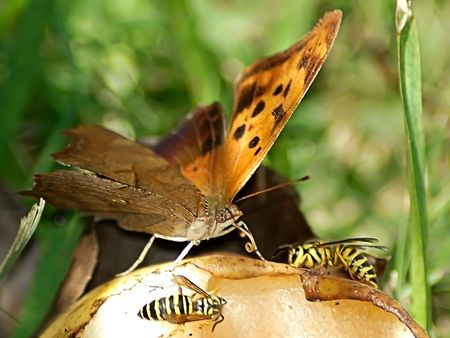 Close-up of a butterfly eating a pear with two wasps photo