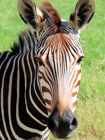 A close-up of a beautiful zebra Stock Photo - 7076649