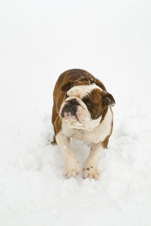 A big dog standing outdoors in the snow