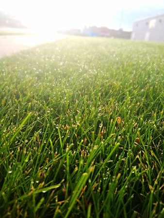 mornings: Beautiful dewy grass shimmers in the mornings sunrise