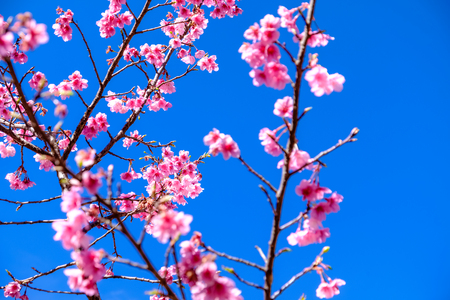 Pink Cherry Blossom Against Clear Blue Sky