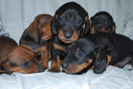 dachshund puppy. Imagens