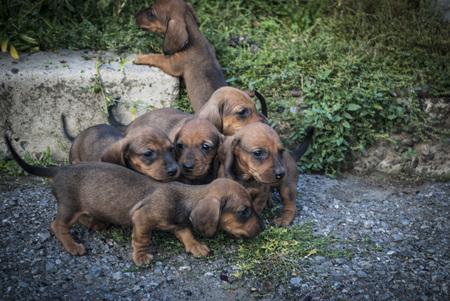 charming puppies dachshund Stock Photo