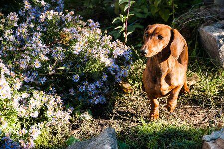 dachshund puppy background.