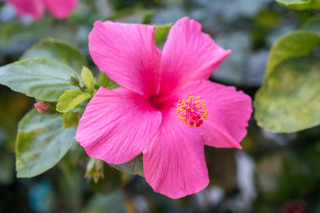 Hibiscus is characterized with a five petal with long pollen tube. Hibiscus rosa sinensis is selected as national flower Malaysia. It is a genus of flowering plants in the mallow family, Malvaceae. Stock Photo