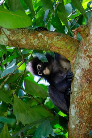Dusky Leaf Monkey (Trachypithecus obscurus) at Penang.