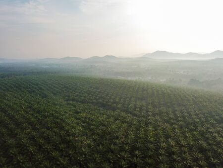 Morning oil palm plantation in morning.