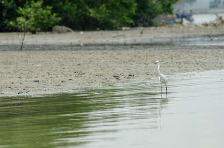 Egret bird searching for food at mangrove swamp of Malaysia.