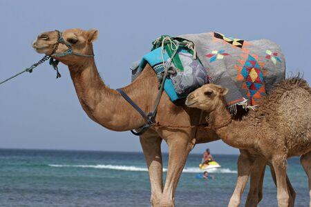 camello: Camel caminar en la playa de Monastir, T�nez.  Foto de archivo