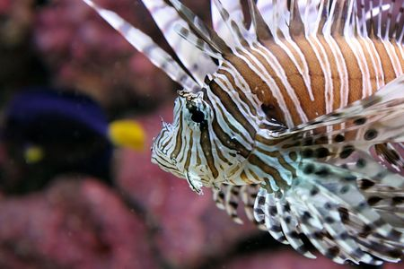 Petrois Volitans called as Lionfish. Other common names: Turkeyfish, scorpionfish, firefish. Range: Tropical regions of the Indian and Pacific Oceans, including reefs of the Red and Arabian Seas and Indonesia.