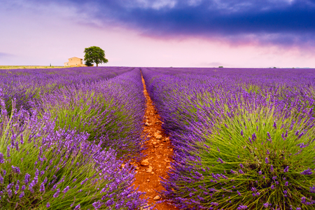 lavendin: Beautiful lavender fields in a summer day in Valensole, France Stock Photo